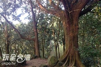 百年肖楠巨木群