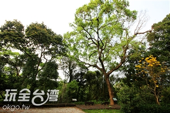 沙坑社區.百年樟木
