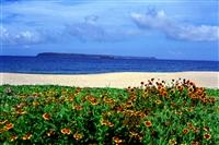 天人菊與沙灘