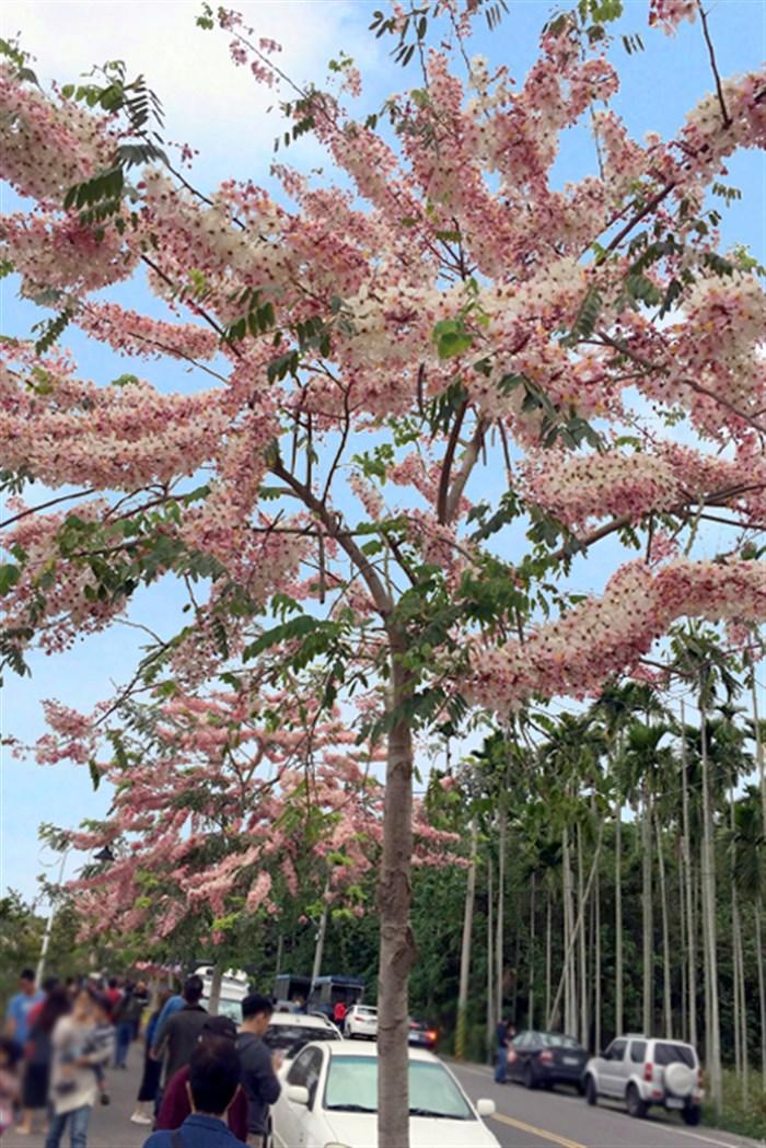 【不只阿里山】這裡的平地櫻花也盛開啦~快選個「離峰」時段賞花去!!