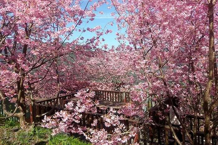 浪漫又迷人的櫻花小精靈來囉!!快一起來司馬庫斯部落賞櫻花看巨木吧!