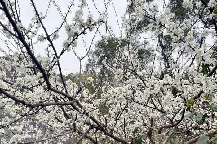 【倒數計時】說到賞花怎麼能錯過這絕美李花呢?即將結束的李花季,你絕對不能錯過啦~!