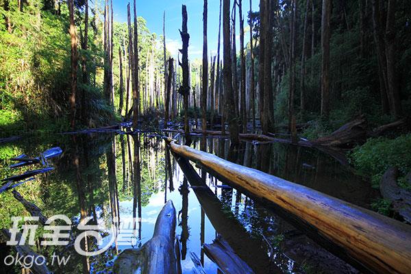 枯樹一根根佇立於沼澤中,蒼涼又帶有獨特之美/玩全台灣旅遊網攝
