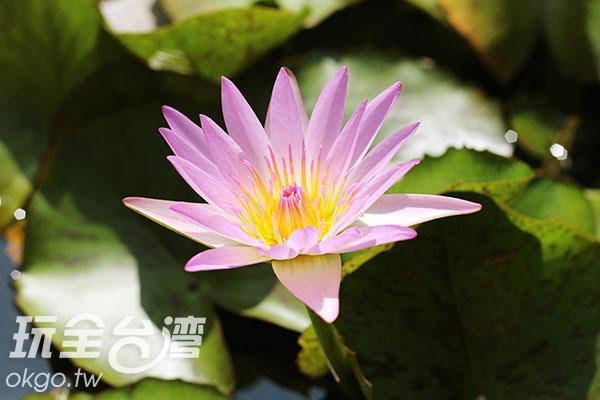寺廟所種植的蓮花正值綻放時節/玩全台灣旅遊網攝