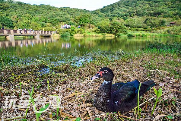 公園內的鴨子長期接觸遊客,已經完全不怕人/玩全台灣旅遊網特約記者奈奈攝