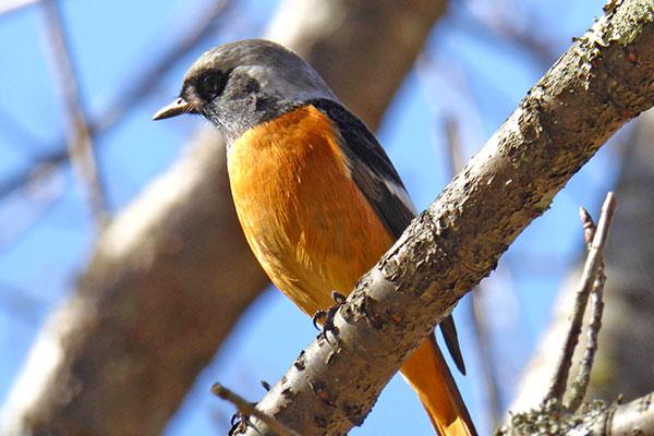 在奧萬大可以看見黃尾鴝野鳥/奧萬大森林遊樂區提供