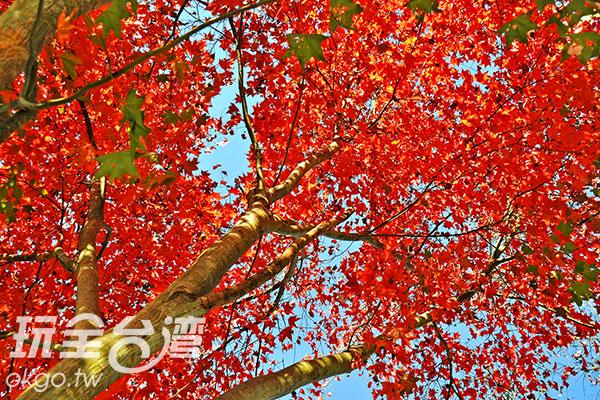 青楓紅葉開滿樹/玩全台灣旅遊網特約記者楊昌林攝