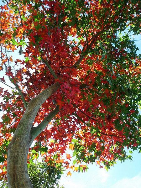 奧萬大楓樹紅葉綠葉夾雜情形/奧萬大森林遊樂區提供