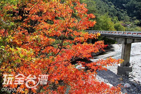 武陵農場楓紅與四周綠葉相輝映/玩全台灣旅遊網特約記者楊昌林攝