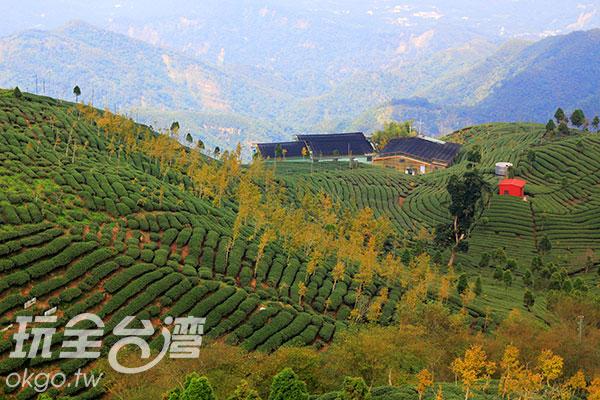 茶樹與銀杏混合林相當特殊/玩全台灣旅遊網攝