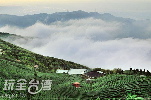 大崙觀光茶園面積廣大/玩全台灣旅遊網攝