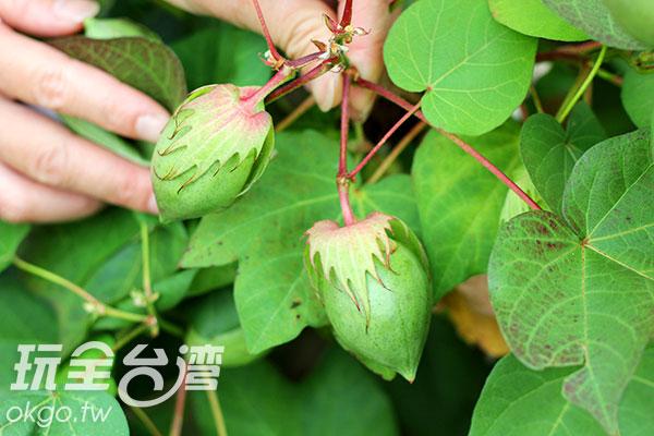 台灣難得一見的棉花果實/玩全台灣旅遊網攝