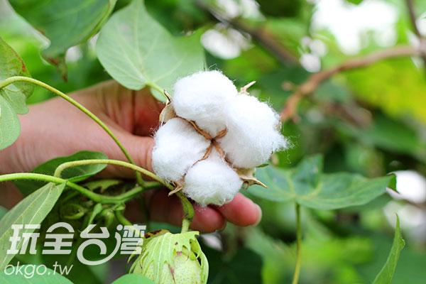 果實爆開後的棉花纖維/玩全台灣旅遊網攝