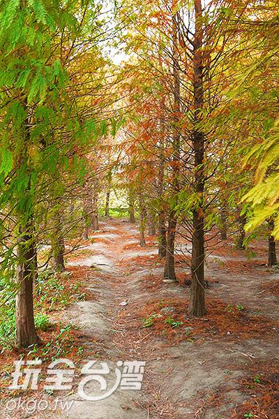 落羽松林小道間,更貼近於美景之中/特約記者林汶姍攝