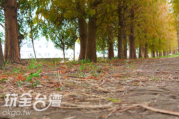 地面上只有少許落羽松樹葉掉落,待樹葉轉紅,枝頭上的綠葉將逐漸掉落/特約記者林汶姍攝