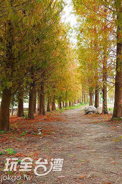 兩排落羽松林形成了綠色隧道/特約記者林汶姍攝