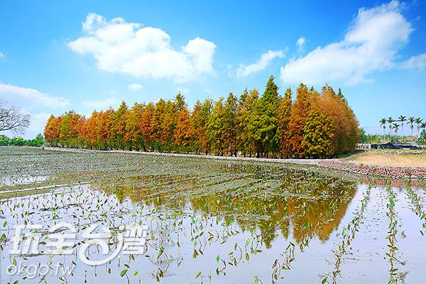 泰安落羽松林被農地包圍/特約記者林汶姍  攝