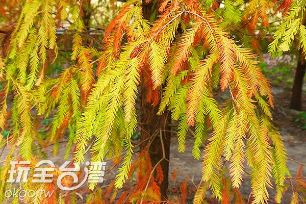 落羽松的葉子就像羽毛般,故稱作落