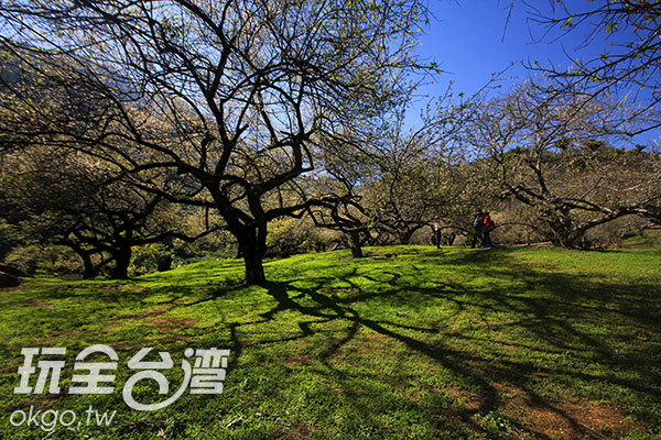 枝頭上的梅花正逐日綻放/玩全台灣旅遊網攝