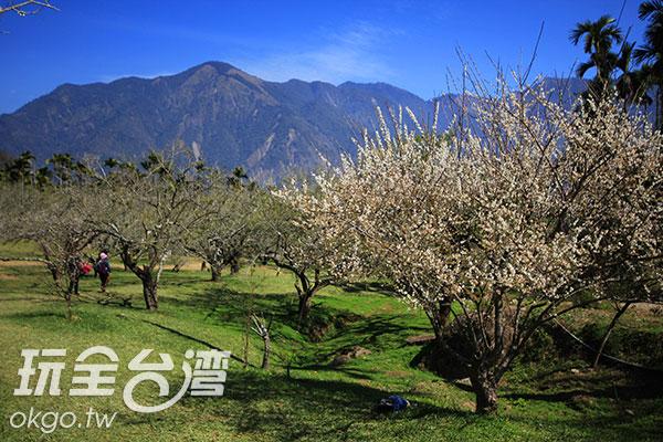 預計7日後信義梅花將逐漸進入盛花期/玩全台灣旅遊網攝