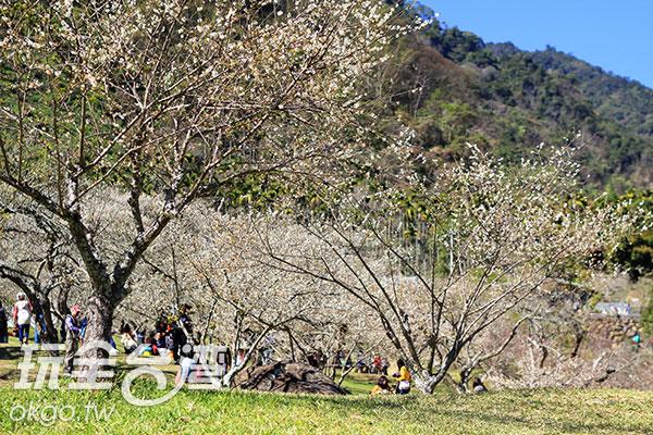 想像著坐在梅樹下 ~一邊賞花、一邊品茶,多麼充滿詩意/玩全台灣旅遊網攝