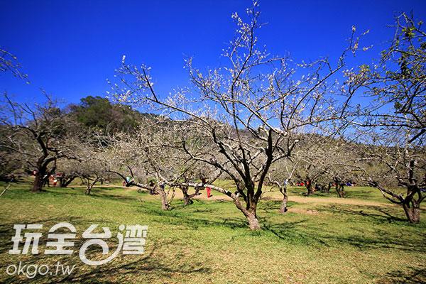 今年踏雪尋梅系列活動的舉辦地點-柳家梅園/玩全台灣旅遊網攝