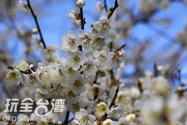全開花朵融合花苞,層次感十足/玩全台灣旅遊網攝