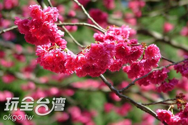 櫻花的艷紅象徵了春的到來/玩全台灣旅遊網攝
