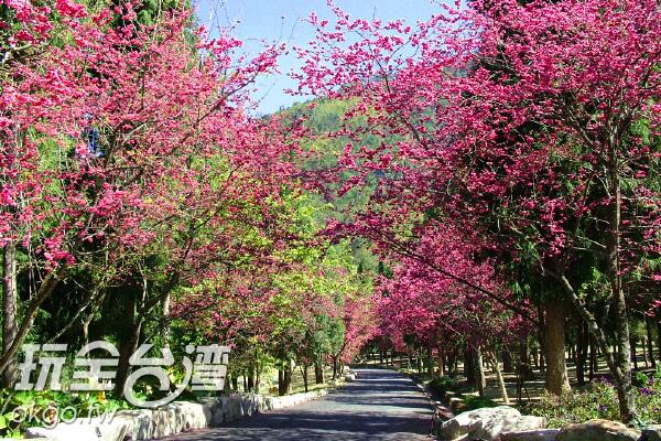 順著滿開著櫻花的道路深入前進九族園區/玩全台灣旅遊網攝