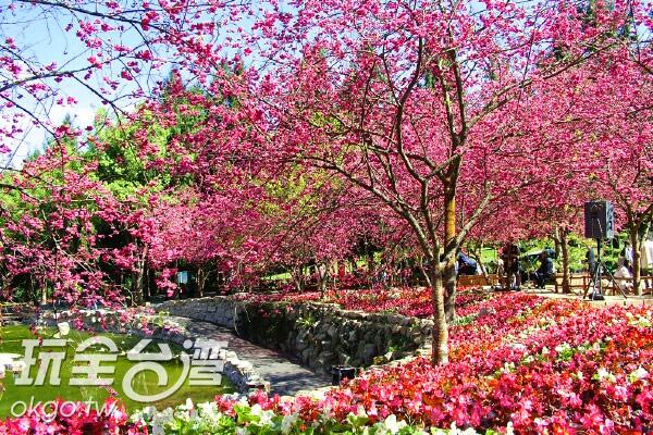 櫻花伴湖景,真是美不勝收/玩全台灣旅遊網攝