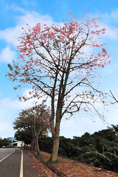 台九線上的櫻花樹/玩全台灣旅遊網特約記者李宥歆攝