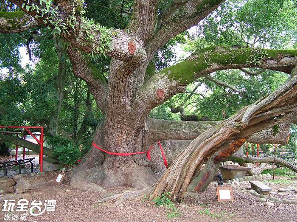 五福臨門神木是由五顆不同的大樹環抱而成/玩全台灣旅遊網攝