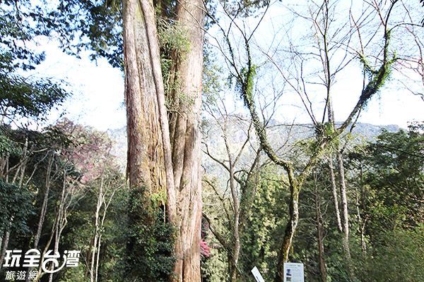 巨木群棧道圍繞著許多神木/玩全台灣旅遊網攝