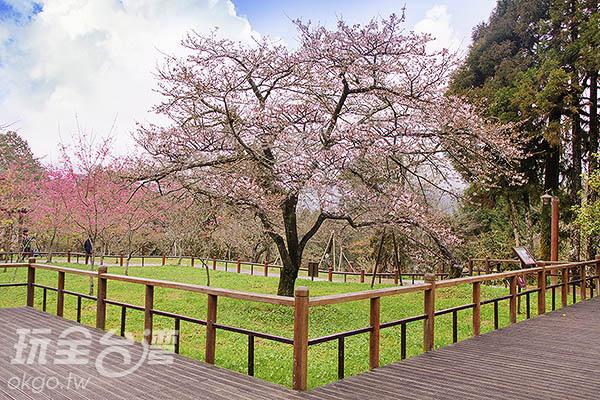 阿里山最為代表的吉野櫻─「櫻王」/玩全台灣旅遊網特約記者陳健安攝
