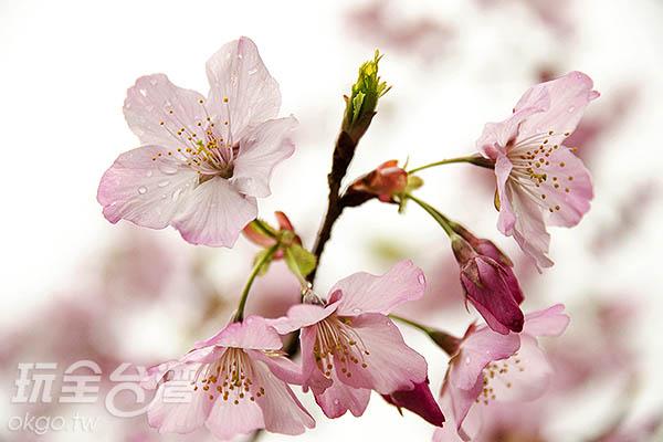 朝露倚著櫻花瓣,格外動人/玩全台灣旅遊網特約記者陳健安攝