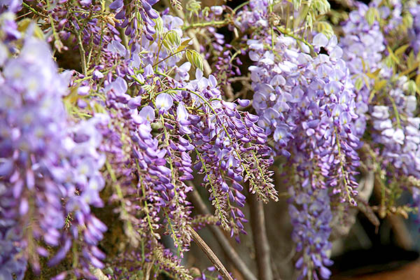 傾瀉而下的紫藤花有著高雅氣質/2016嘉義瑞里紫藤花季粉絲團提供