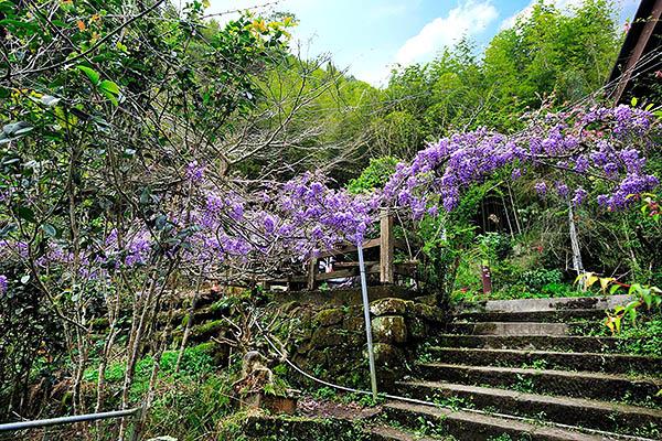 紫藤花盛開形成拱門讓人穿梭幸福/2016嘉義瑞里紫藤花季粉絲團提供