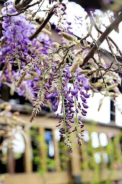 粉紫色的紫藤花與櫻花是瑞里三月之星/2016嘉義瑞里紫藤花季粉絲團提供