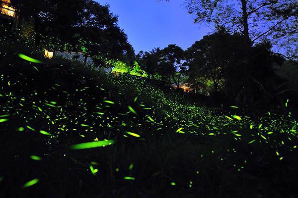 到了夜晚還可欣賞螢火蟲所演出的動人舞曲/2016嘉義瑞里紫藤花季粉絲團提供