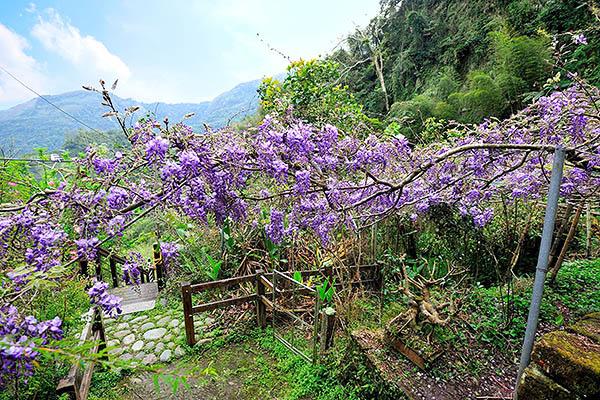紫藤花加上瑞里的美景形成一幅夢幻的畫作/2016嘉義瑞里紫藤花季粉絲團提供