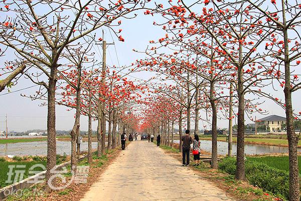 艷麗的木棉花和筆直的木棉樹讓平凡的鄉間小徑充滿豐富色彩/玩全台灣旅遊網攝