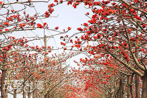 紅花滿開木棉枝頭的白河林道,景致引人入勝/玩全台灣旅遊網攝
