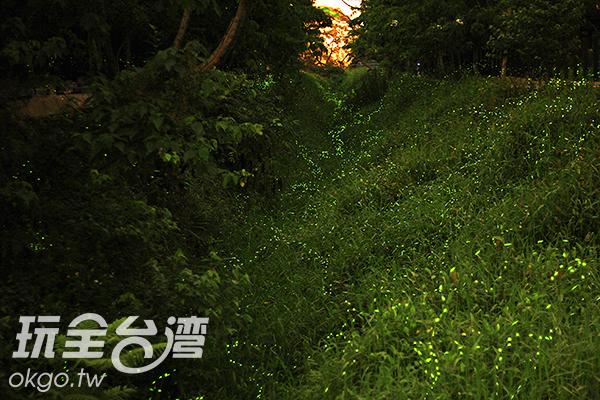 螢火蟲在草蟲上散發生命的熱度/玩全台灣旅遊網攝