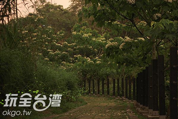 伴隨著黃昏的晚霞,成群的螢火蟲開始盛大的晚會/玩全台灣旅遊網攝