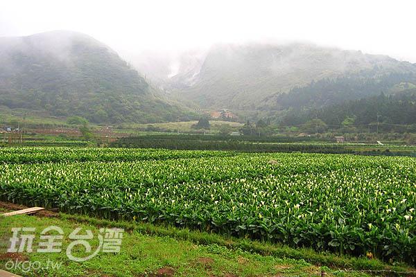 白綠交錯的海芋花田在山嵐雲霧的襯托下更為嬌巧/玩全台灣旅遊網攝