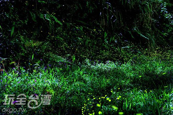 螢火蟲在草叢中飛舞的景象,好美/玩全台灣旅遊網攝