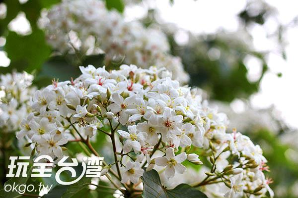 油桐花大量盛開在枝頭,湊成一撮潔白/玩全台灣旅遊網攝