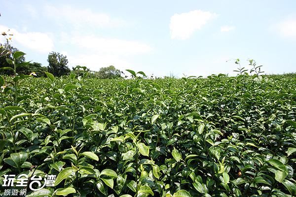 這裡的茶更有著李前總統賜名/玩全台灣旅遊網