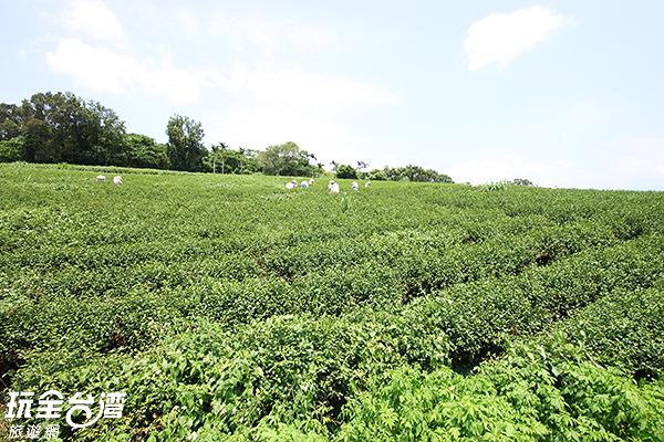 鹿野觀光茶園名氣響亮/玩全台灣旅遊網攝