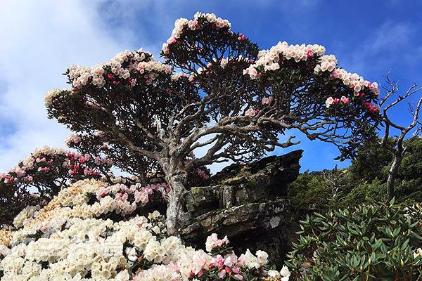 巨大的杜鵑樹在巨石旁生長,並大肆綻放/黃麗雯老師提供
